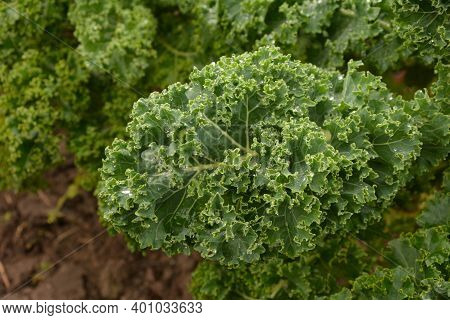 Close Up Of Green Curly Kale Plant In A Vegetable Garden.