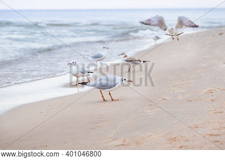 Seagulls Walk Along The Sea Coast. One Seagull Characteristic In The Foreground