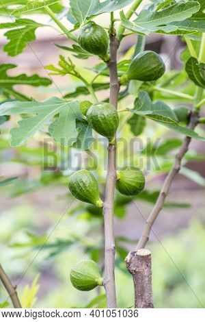 A Fig Hangs On The Branch With Green Leaves. Figs On The Branch Of A Fig Tree.