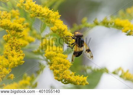 Close-up Of A Fly Insect With Red Eyes Sitting On A Yellow Goldenrod Flower In A Summer Field On A Y