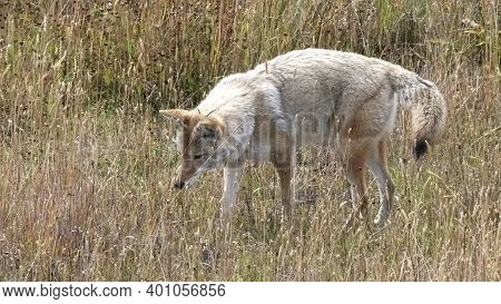 Coyote Listening Intently To A Small Animal In A Meadow At Yellowstone