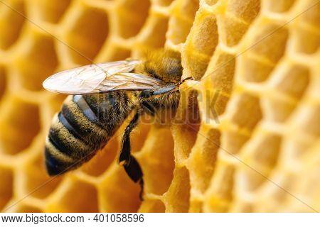 Macro Photo Of Working Bees On Honeycombs. Beekeeping And Honey Production Image