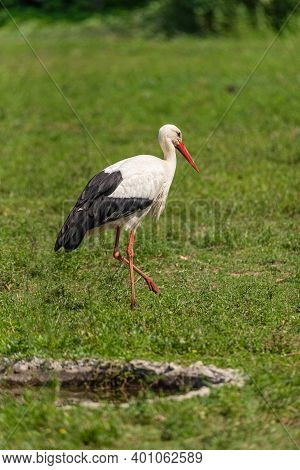 A Large White Stork Walks In A Meadow, A Large European Bird