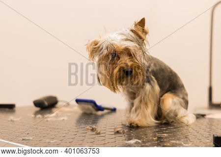 Unhappy Yorkshire Dog In Grooming Salon After Shower Small Cute Domestic Pet Portrait Photography Wa