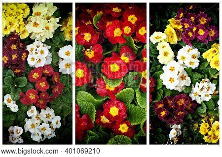 Triptych of flowers of Primrose (Primula).