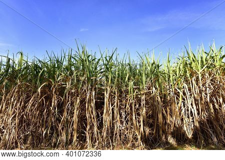 Sugar Cane Plantation. Sugarcane Field In Blue Sky And White Cloud In Thailand