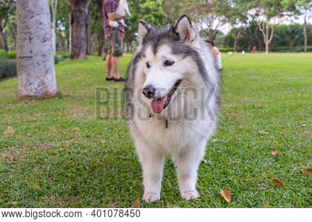 Fluffly Large Alaskan Malamute Going For The Park