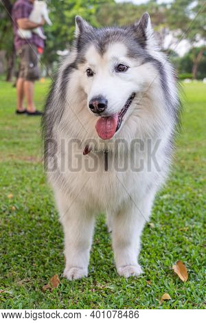 Portrait Of A Large And Adorable Alaskan Malamute Dog