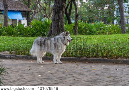 Beautiful Alaskan Malamute Dog Standing At The Park