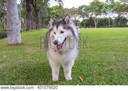 Cheerful Alaskan Malamute Dog At The Grass Lawn