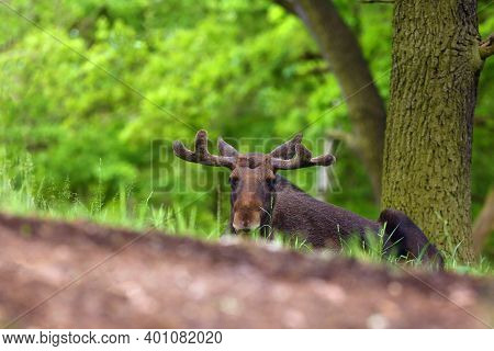 The Moose (north America) Or Elk (eurasia) Scientific Name (alces Alces) In The Summer Forest.big Ma