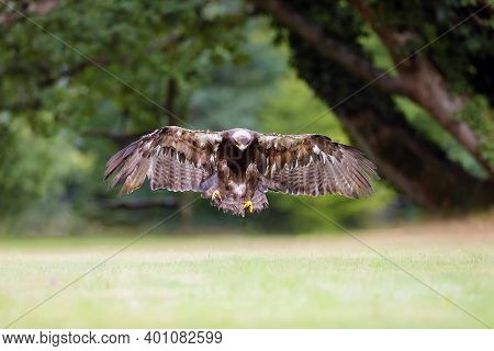 The Steppe Eagle (aquila Nipalensis) Lands On The Green Grass. Big Eagle In Flight.