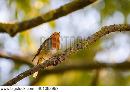 A Red Robin Or Erithacus Rubecula. This Bird Is A Regular Companion During Gardening Pursuits.
