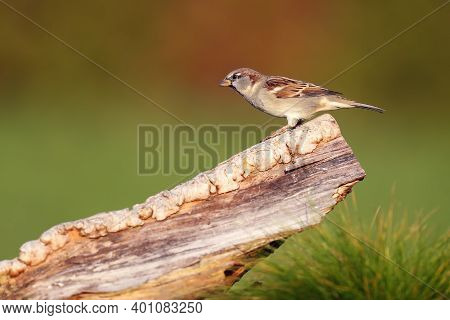 The House Sparrow (passer Domesticus) Flies Sitting On A Piece Of Wood With A Green Background. Male
