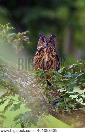 The Portrait Of A Eurasian Eagle-owl (bubo Bubo) With A Green And Brown Background. A Large European