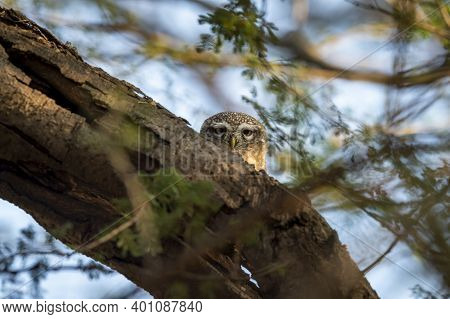 Spotted Owl Or Owlet Or Athene Brama With Eye Contact At Forest Of Central India