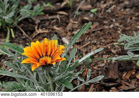 An Orange African Daisy In A Garden