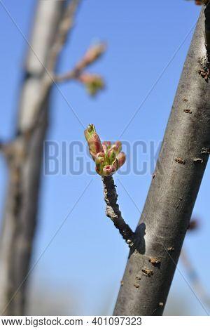 Japanese Flowering Cherry Kanzan Flower Buds - Latin Name - Prunus Serrulata Kanzan