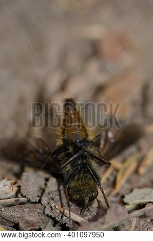 Fly Feigning Death On The Forest Floor. Garajonay National Park. La Gomera. Canary Islands. Spain.