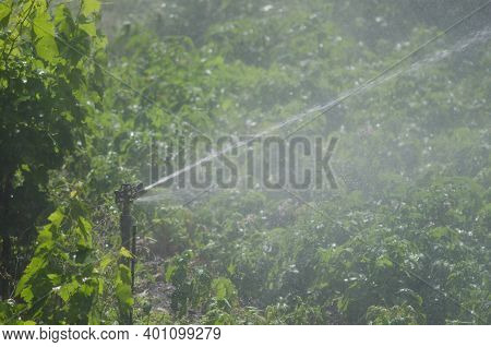 Water Sprinkler Irrigating A Potatoes Cultivation. Agulo. La Gomera. Canary Islands. Spain.