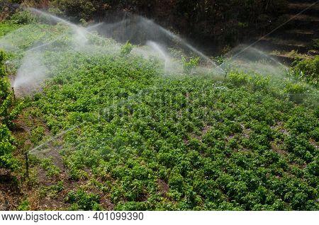 Irrigation Of A Potatoes Cultivation. Agulo. La Gomera. Canary Islands. Spain.
