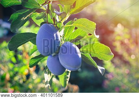 Close Up Of The Plums On Branch. Ripe Plums On A Tree Branch In The Garden.