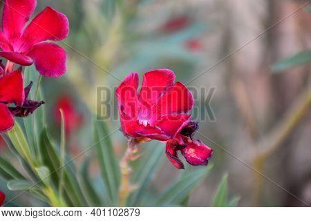 Red Flowers Of Oleander (nerium Oleander). El Toboso.
