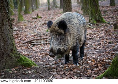 Sus Scrofa. The Wild Nature Of The Czech Republic. Free Nature. Picture Of An Animal In Nature. Beau
