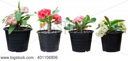 Colorful Euphorbia Milli Or Crown Of Thorns Flower In Black Plastic Pot Isolated On White Background