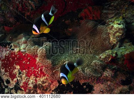 Two Seychelles Anemonefish (Amphiprion fuscocaudatus) snuggles in its protective anemone
