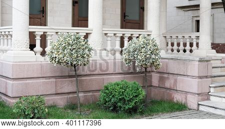 Variegated Green And White Foliage, Bushes Of Emerald Gaiety Or Euonymus Fortunei Shrub Planted In F