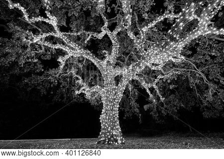 Black and white view of old tree wrapped in decorative holiday christmas lights.