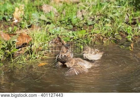 Sparrows Birds Are Bathing And Splashing In Puddle In Autumn Park At Warm Sunny Day Among Green Gras