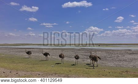 A Family Of African Ostriches With Brown Fluffy Plumage Walks In The Savannah. In The Distance You C