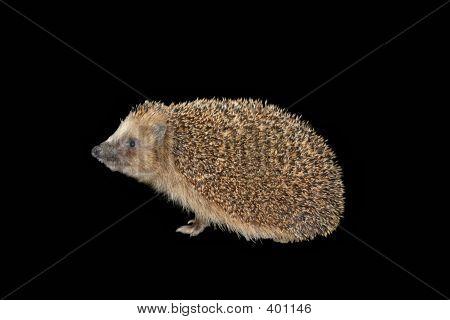 Hedgehog Isolated On Black