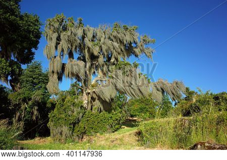 Spanish moss hanging from old tree sunny day blue sky, Green environment Nature of Chile, Pucon