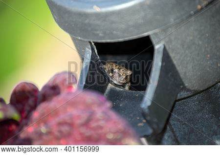 A Small Brown Speckled Frog Peeks Out The Spout Of A Decorative Water Pump In A Missouri Garden. The