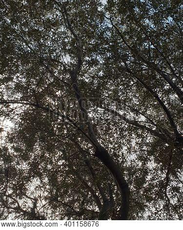 Árbol Visto Desde Abajo Hojas Y Ramas