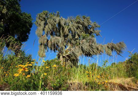 Tree covered with Spanish moss. Green grass and wild yellow flowers in sunny day blue sky, Green environment Nature of Chile, Pucon
