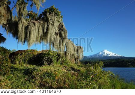 Spanish moss hanging from tree, Snowy cone of Villarrica volcano and lake Villarrica in sunny day blue sky, Green environment Nature of Chile, Pucon