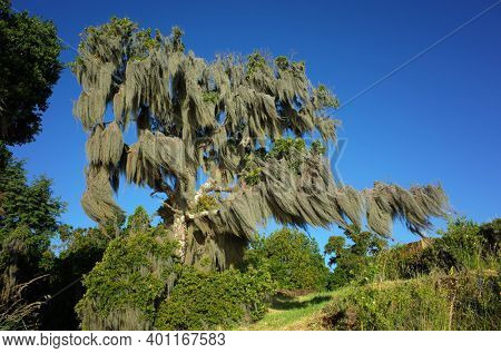 Old tree covered with Spanish moss. Sunny day blue sky, Green environment Nature of Chile, Pucon
