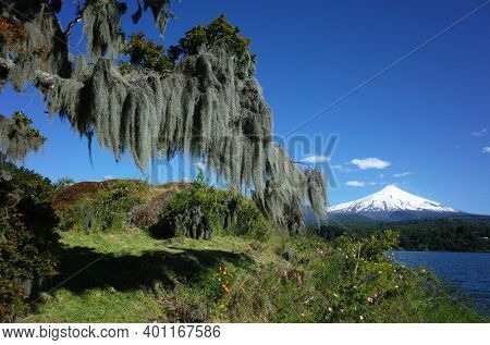 Spanish moss hanging from tree, Snowy cone of Villarrica volcano and lake Villarrica in sunny midday light, blue sky, Green environment Nature of Chile, Pucon