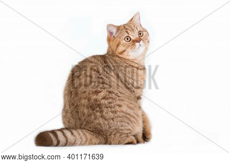 Horisontal Photo Of Red Ginger White Creamy Tabby Striped Fluffy Cute Adorable Young British Cat Loo
