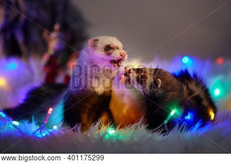 Studio Portrait Of Adult Ferrets In Christmas Style With Led Lights