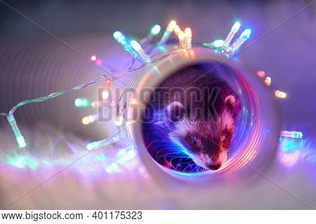 Studio Portrait Of Adult Ferret In Tunnel Toy With Led Lights