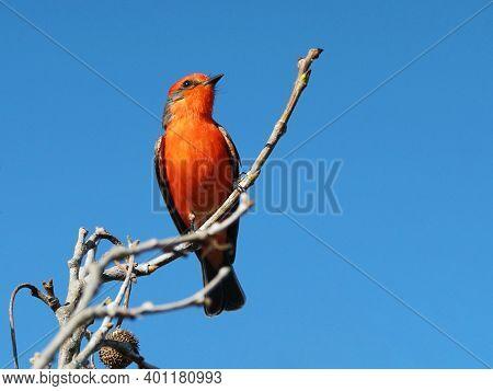 A Vermillion Flycatcher Perched On A Tree Limb.