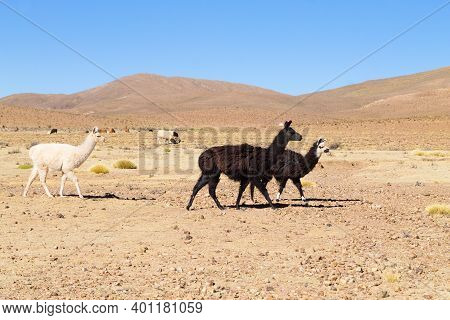 Bolivian Llama Breeding,bolivia