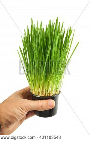 Fresh Wheatgrass In Hand Isolated On A White Background. Wheat Grass For Detox Medicine And Healthca