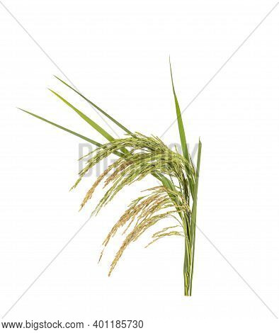 Ears Of Paddy Rice Grain Isolated On White Background