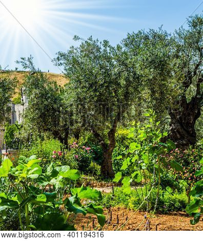 Branched olive trees and smooth paths under the hot autumn sun. The ancient Garden of holy Gethsemane in Jerusalem. The concept of historical, religious and ethnographic tourism